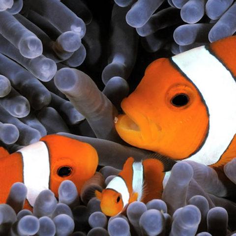 pesce-pagliaccio
