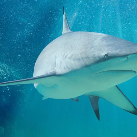 squalo-pinnanera